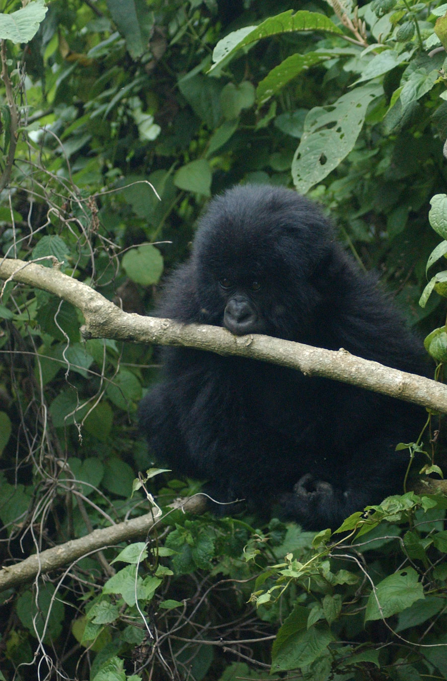 Baby Mountain Gorilla by Carol Markus