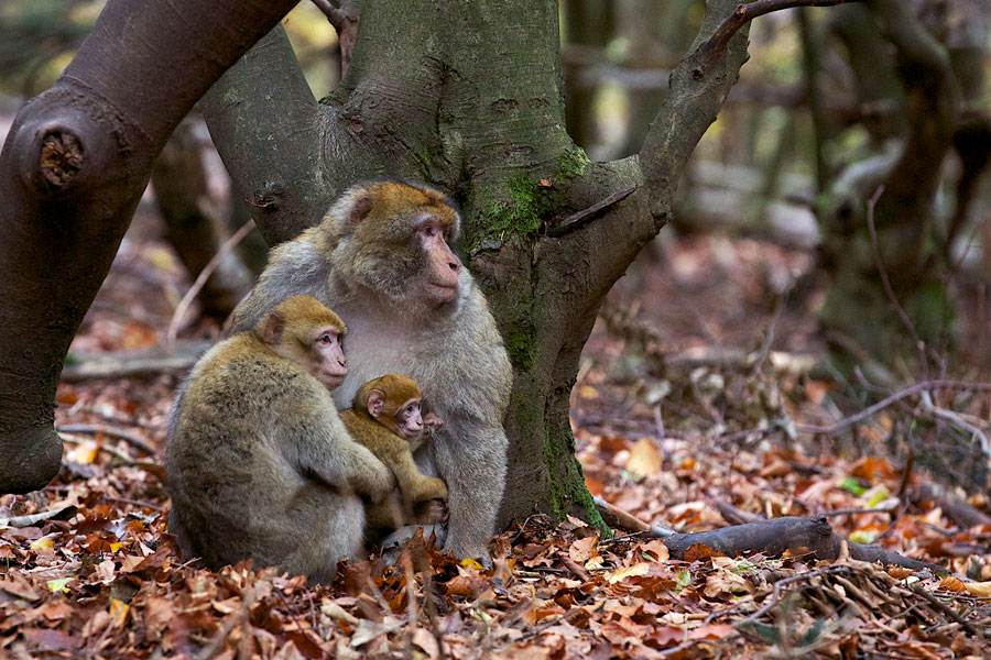 Barbary Macaque Family by Niki Harry