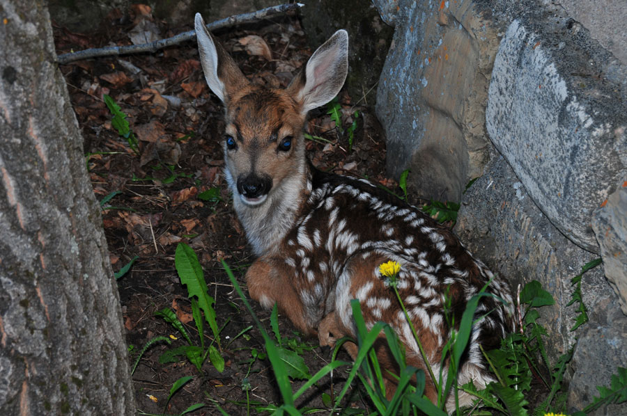 Fawn at Rest by John Senger